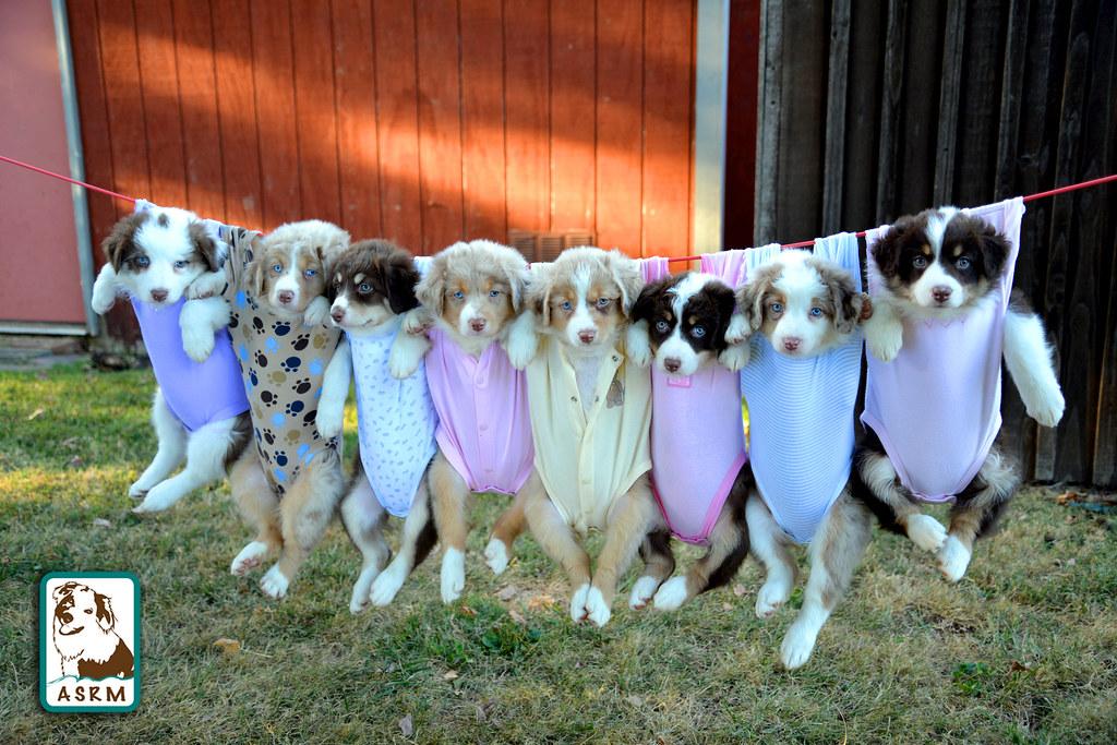 Cute Puppies Wallpaper Backgrounds Australian Shepherd Puppies Aussie Puppies 7 Weeks Old