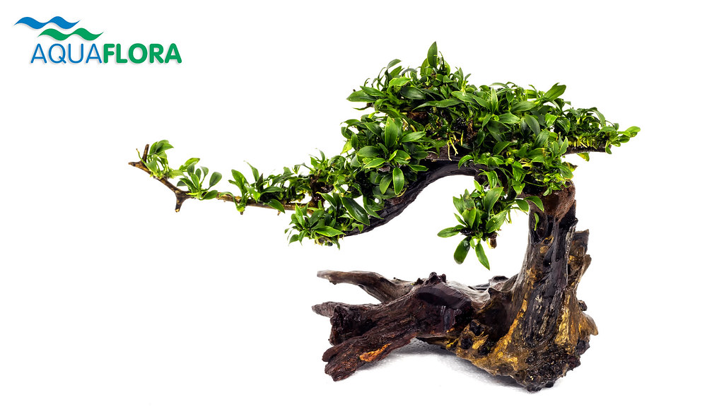 3d Fish Wallpaper Hd Bonsai Tree Was Supposed To Use This Bonsai Tree Not A