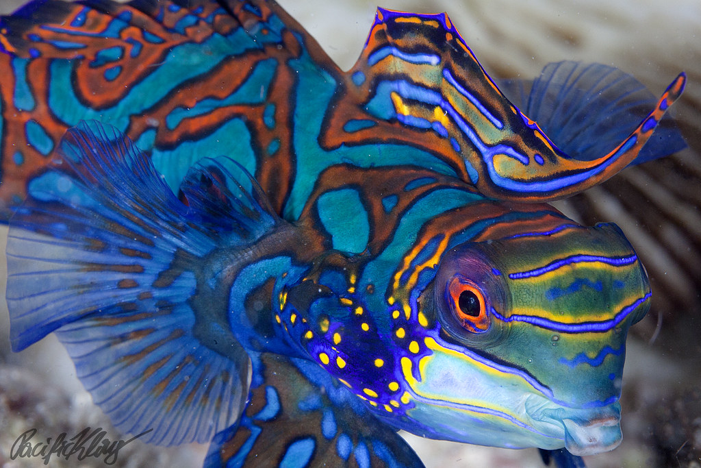 Wallpaper Sunset 3d Mandarin Fish Close Up This Is Some Of The Most