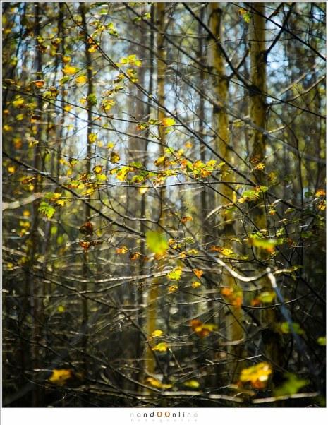 Beukenbladeren in de kleuren van de herfst. De meeste bladeren lijken al gevallen te zijn. Het tegenlicht laat de bladeren gloeien, alsof het licht uit het blad zelf komt