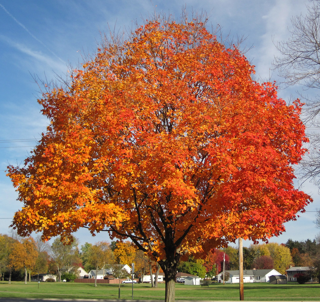 Fall In Vermont Wallpaper Acer Saccharum Sugar Maple Tree In Fall Colors Country