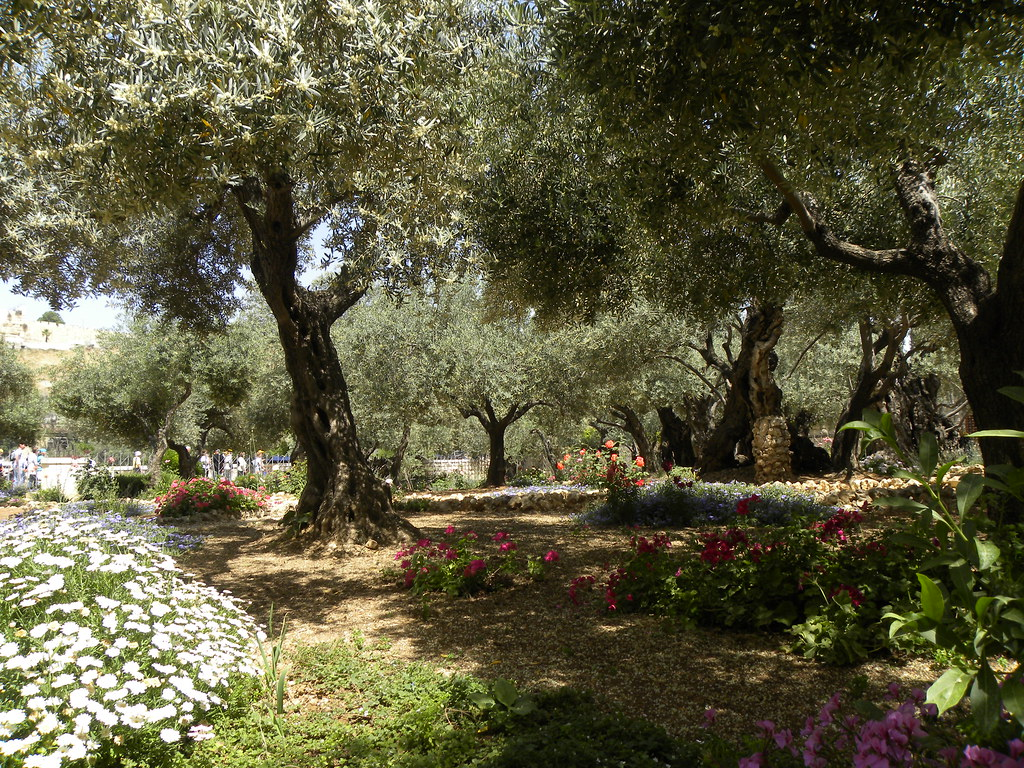 3d Garden Wallpaper Free Olive Trees In The Traditional Garden Of Gethsemane Flickr
