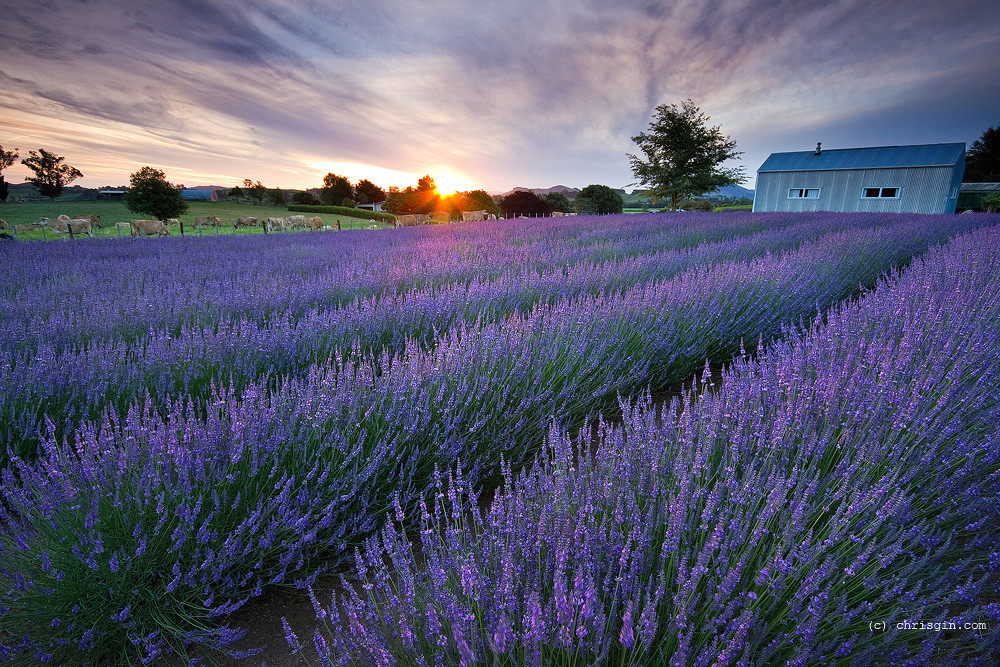 3d Sunset Wallpapers Free Purple Dusk Sunset At Alphra Lavender Farm Te Awamutu