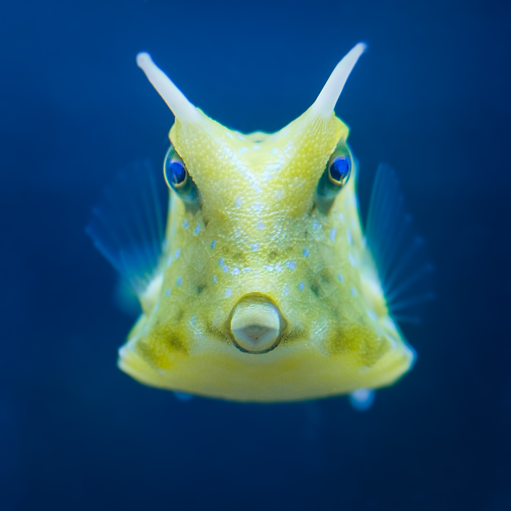 Fish Tank 3d Wallpaper Cowfish Head On View Of A Cowfish In A Fish Tank In A