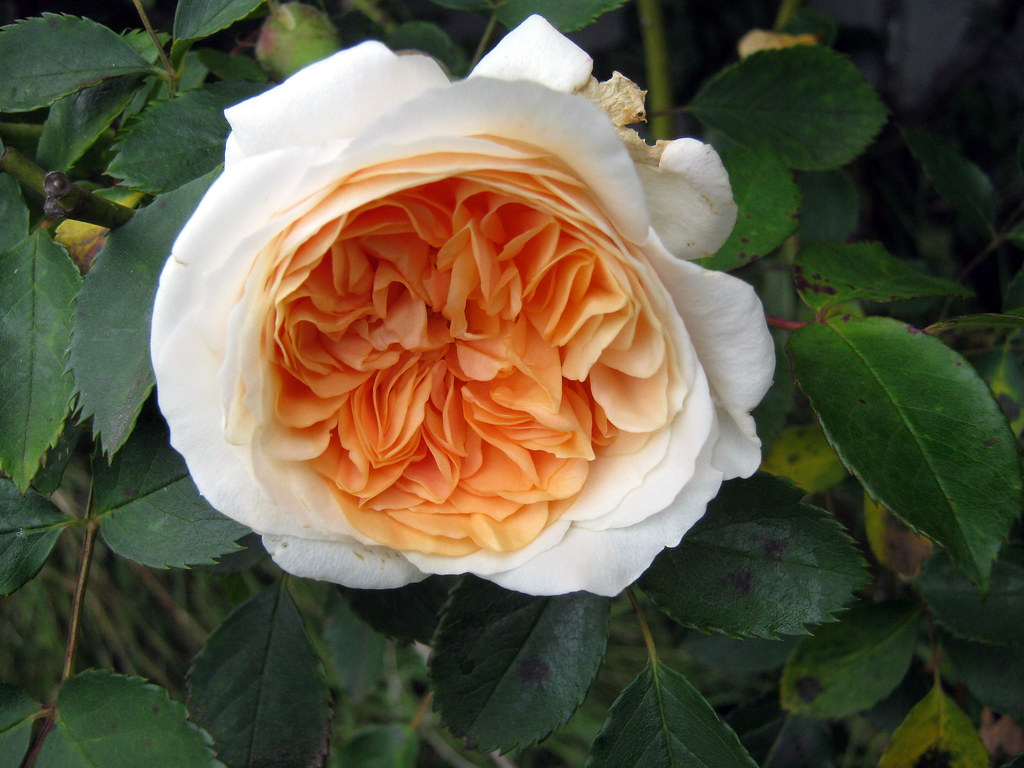 Rose Forum Pegasus Rose | 'pegasus'-a David Austin Rose. | Hesterb