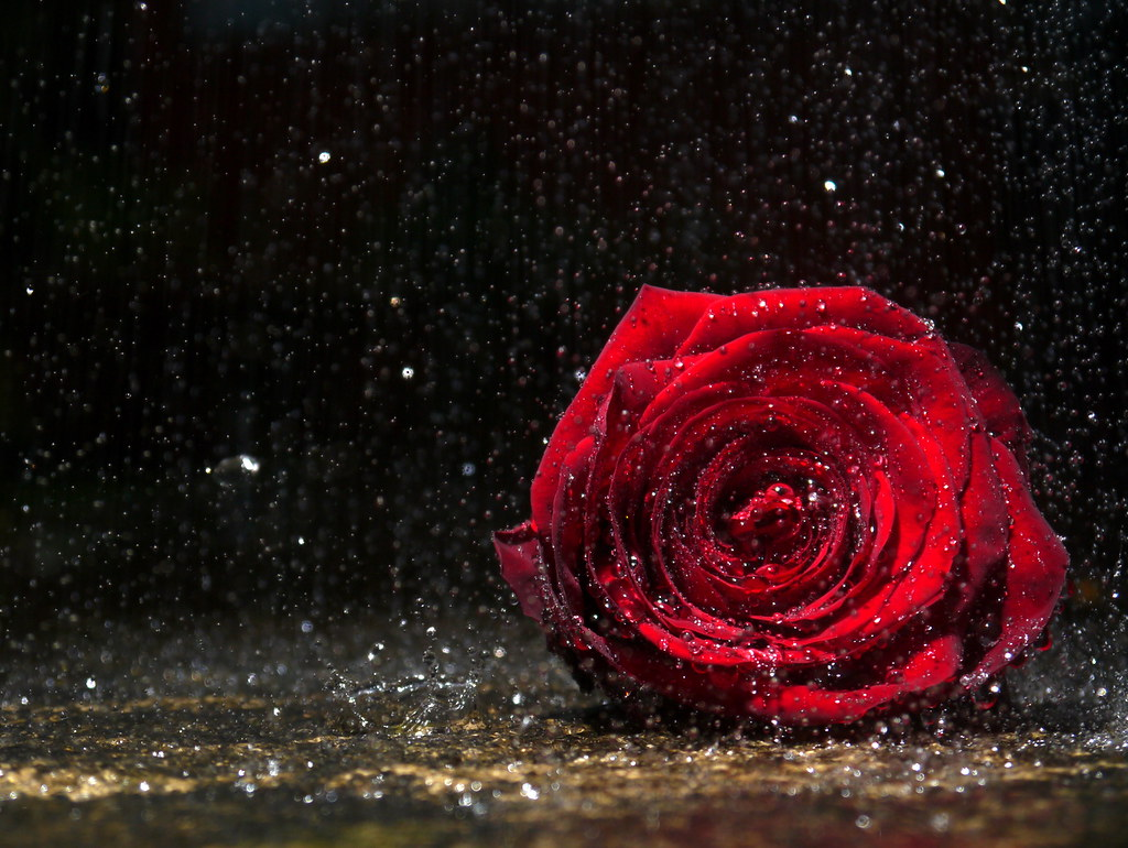 Alone 3d Wallpaper A Rose Alone In The Rain Available To Buy On Getty