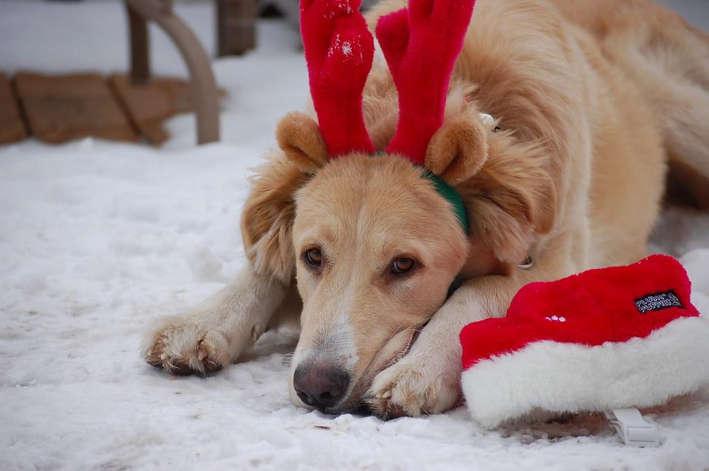 Wallpaper Perritos 3d Christmas Dog Sadie Hart Flickr