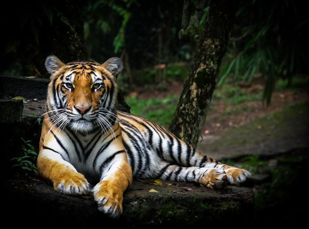 Free 3d Tiger Wallpaper Sumatra Tiger Olympus Digital Camera Dupan Pandu Flickr