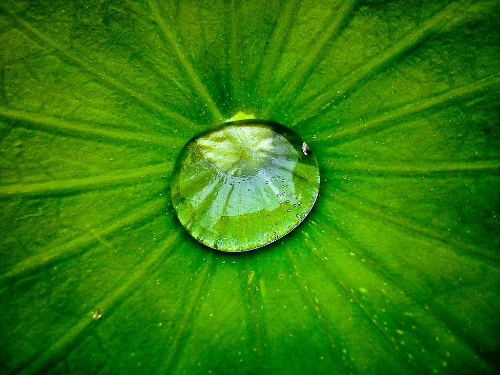 3d Falling Leaves Animated Wallpaper Water Drop On Lotus Leaf Pison Jaujip Flickr