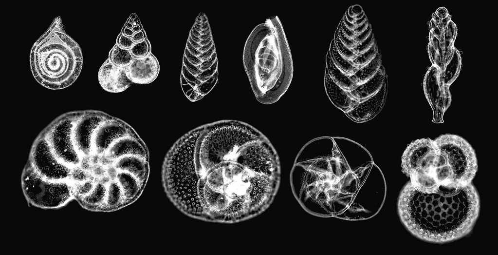 3d Library Wallpaper Foraminiferans 10 Species A Photomicrograph Depicting