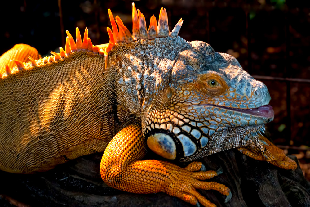 Beautiful Animal Pictures Wallpaper Red Iguana With A Face Anyone Could Love Dennis