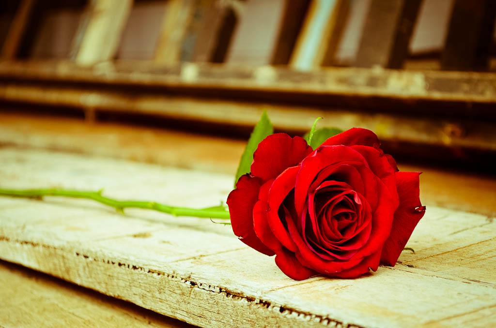 As 3d Wallpaper Rosa Vermelha Rosa Vermelha Atribui 231 227 O