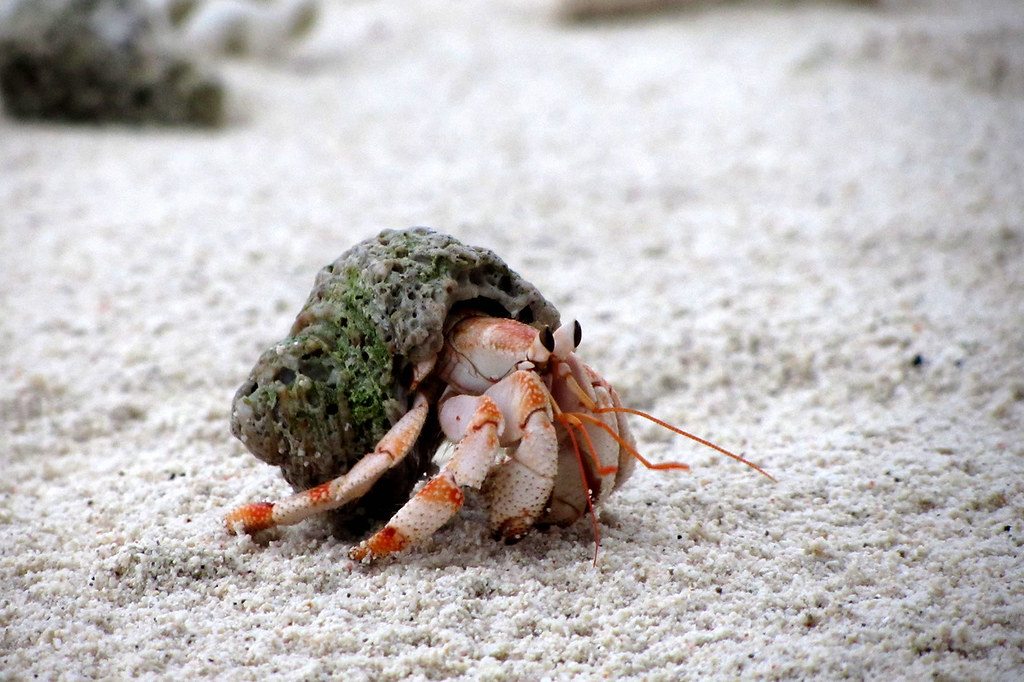 Wallpaper 3d Hd Live Juvenile Strawberry Land Hermit Crab Hermit Crabs Are A