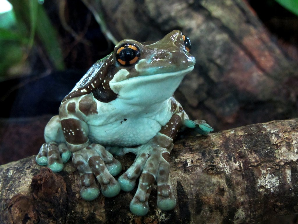 Cute Pet Animals Hd Wallpapers Mission Golden Eyed Treefrog Amazon Milk Frog