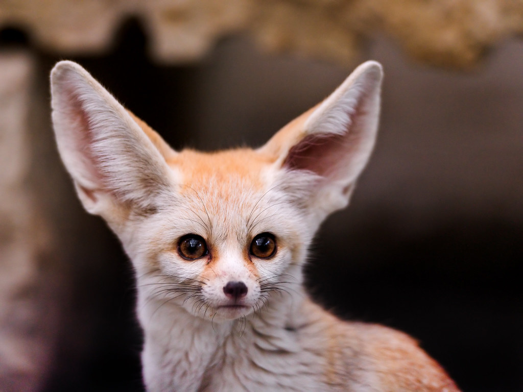 Cute Cubs Wallpaper What Big Ears Portrait Of A Cute And Small Fennec