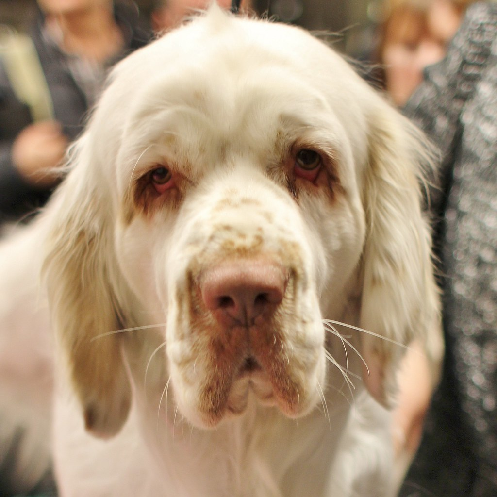 Clumber Spaniel Clumber Spaniel Clumber Spaniel Emphasis On The Lumber