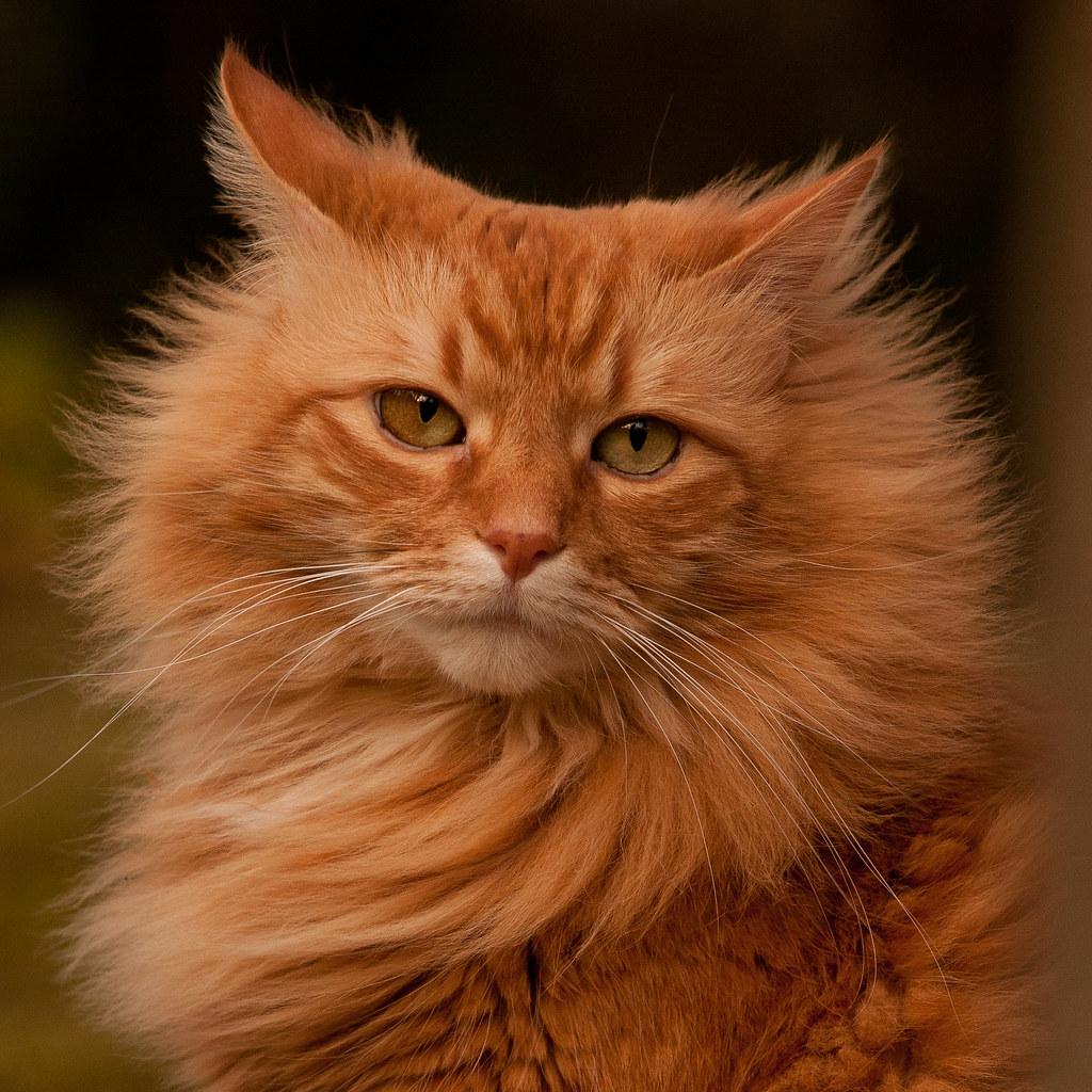Cute Bengal Cats Wallpaper Orange Cat Catillack David Mccudden Flickr