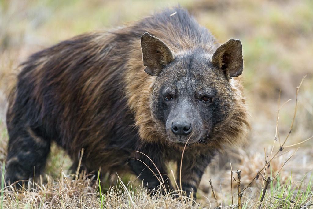 3d Black Jaguar Wallpaper Attentive Brown Hyena At The Kingdom It S Been The