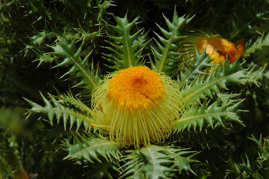 3d White Flower Wallpaper Cactus Dryandra Banksia Anatona Banksia Anatona A