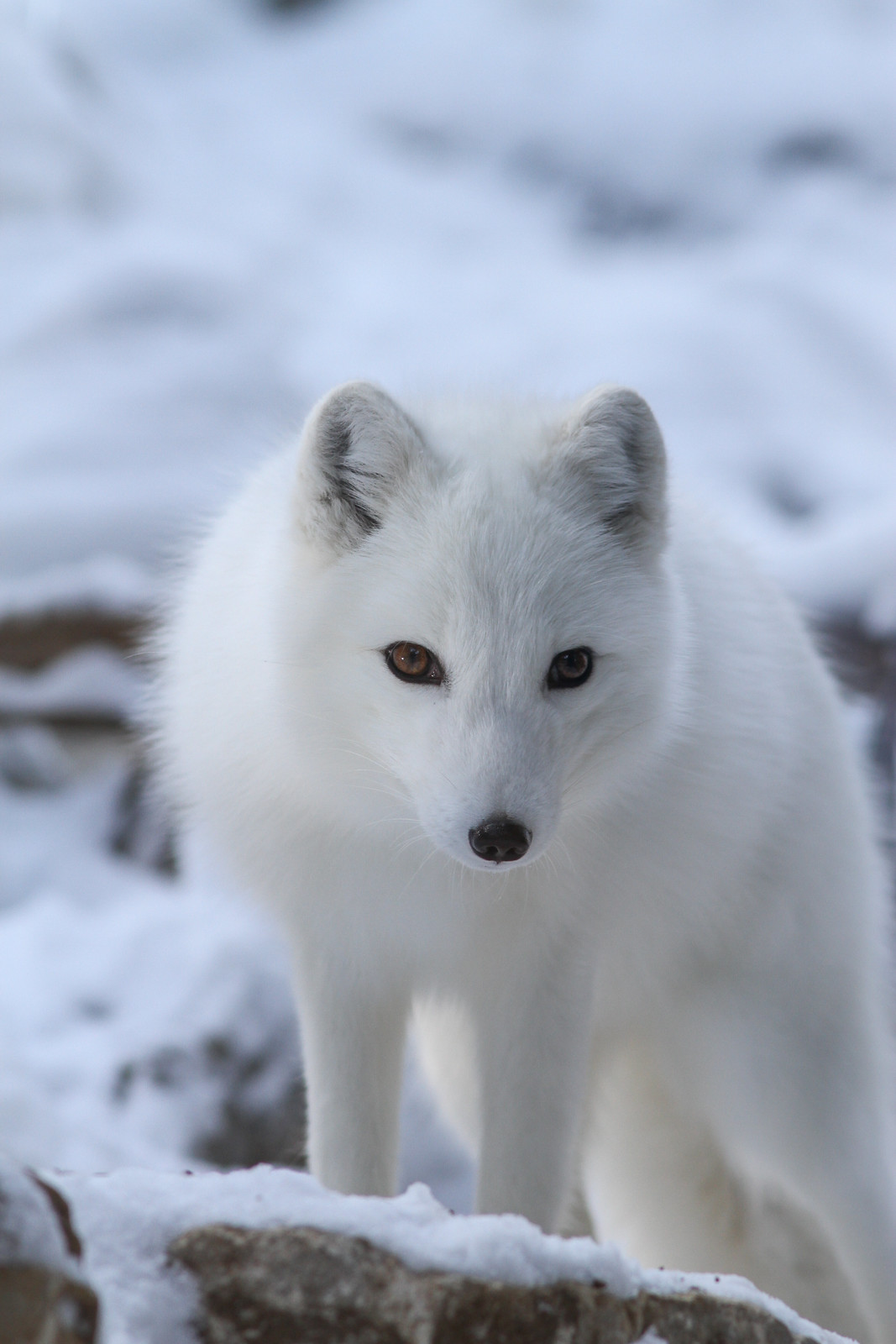 Leopard Animal Print Wallpaper Arctic Fox Animal Protection Cause