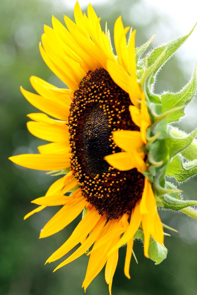3d Sunflower Wallpaper Sunflower Yoshihiro Ogawa Flickr