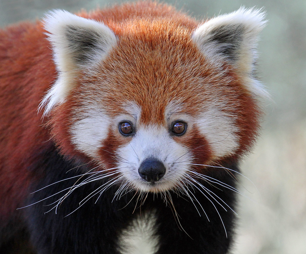 Cute Wallpapers For Kids Red Panda Taken At Colchester Zoo Paul Bugbee Flickr