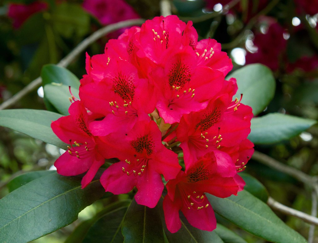 Free 3d Flower Wallpaper Red Rhododendron Red Rhododendron Flowers Taken At
