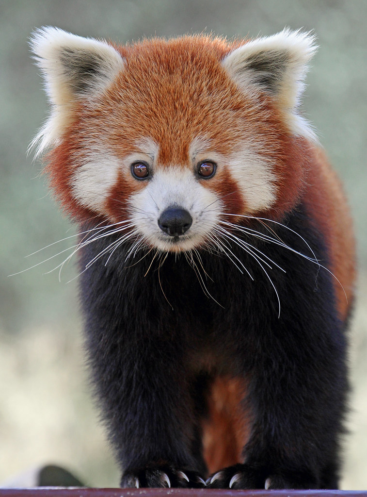 Panda Bear Cute Wallpaper Red Panda Taken At Colchester Zoo Paul Bugbee Flickr