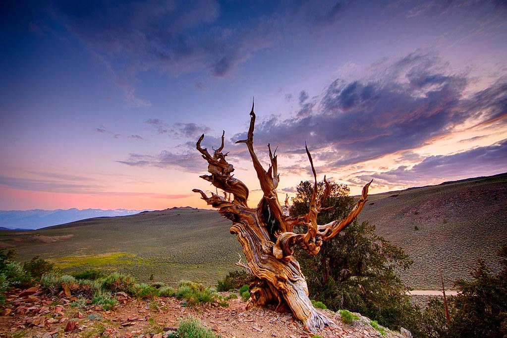 Nature Wallpaper Hd 3d Methuselah White Mountain California Methuselah Tree