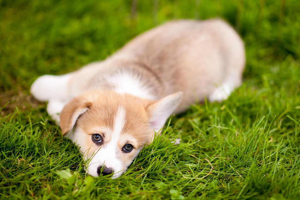 Cute World Map Desktop Wallpaper Corgi Puppies In July Daniel Stockman Flickr