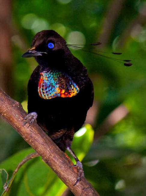 Bird Of Paradise Hd Wallpaper Lawes S Parotia Bird Of Paradise Parotia Lawesii Flickr