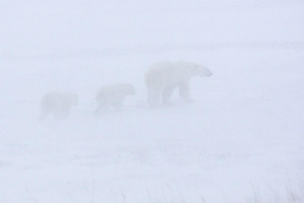 3d Bear Wallpaper Polar Bear And Two Cubs Walking In A Snow Storm John