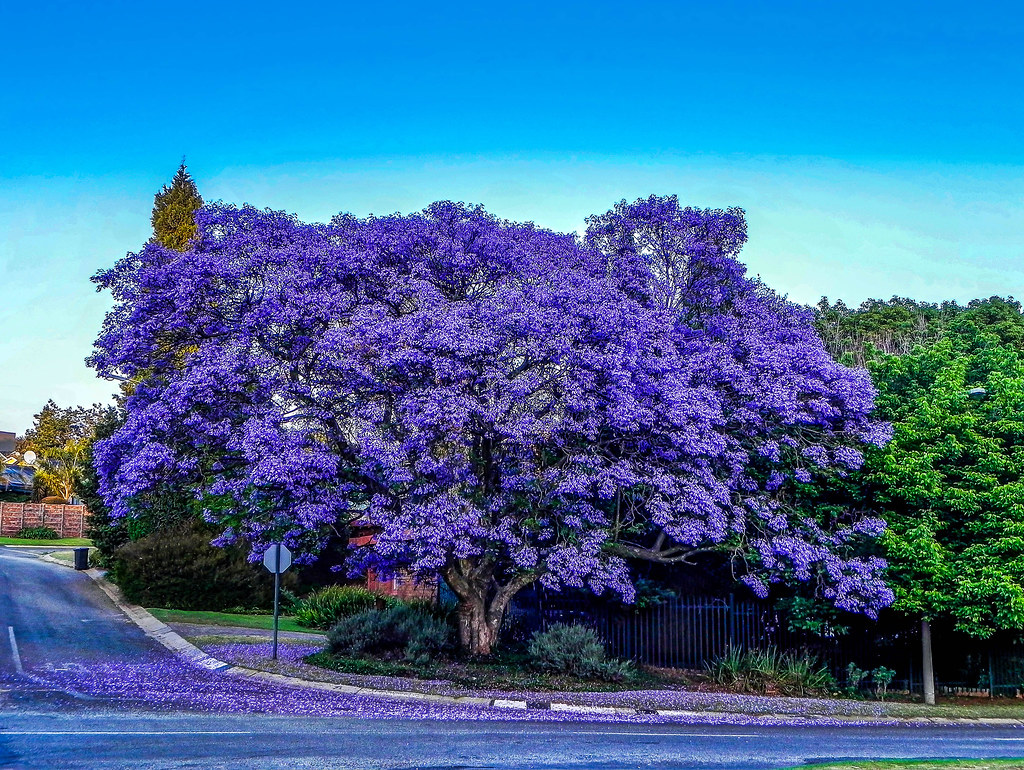 3d Tree Live Wallpaper Jacaranda Tree Hdr Johannesburg Jacaranda Is A Genus Of