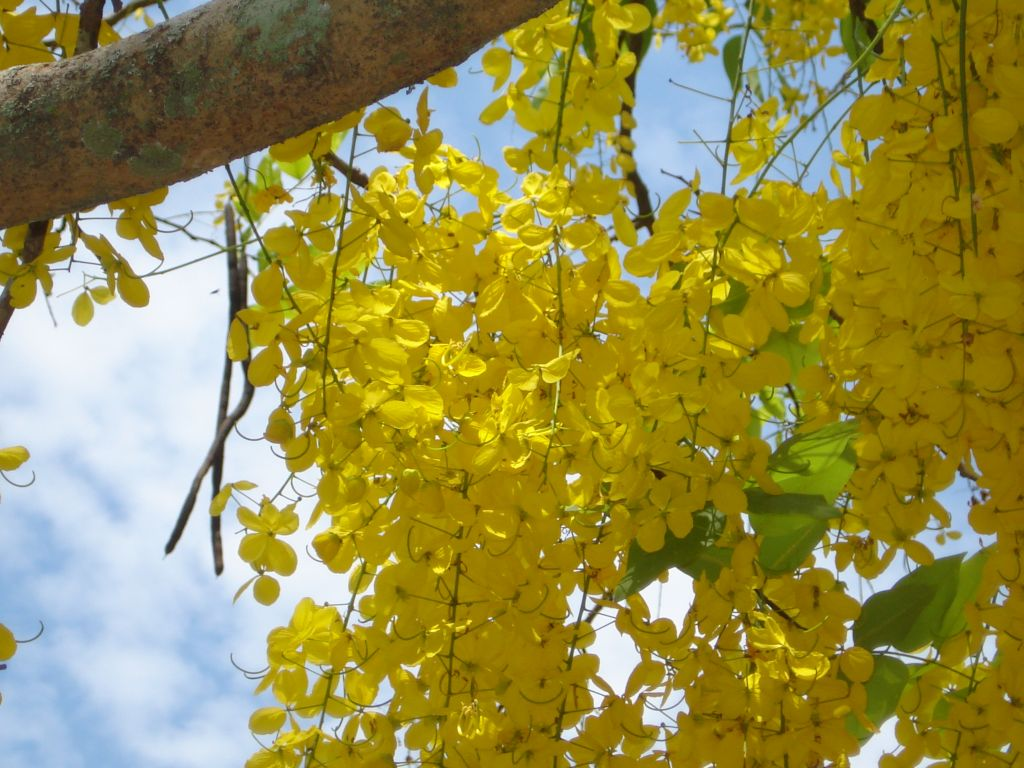 Free 3d Flower Wallpaper Konna Flower Cassia Fistula Or Golden Shower Tree A