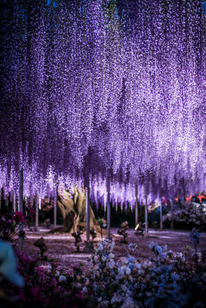 3d Wallpaper Lavender The Great Purple Wisteria At Ashikaga Flower Park Flickr