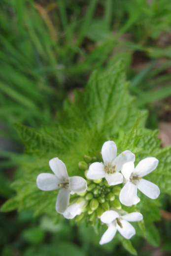 Garlic mustard can be turned into wild eats, like pesto.