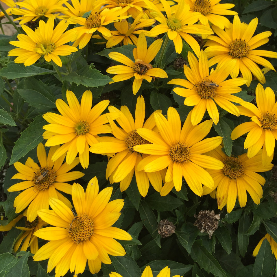 Fall Aesthetic Wallpaper Tuscan Gold False Sunflower Heliopsis Helianthoides