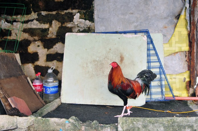 rooster in front of its cage