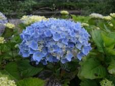 天空的蓝色绣球花