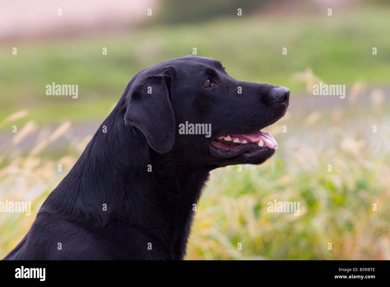 Black Lab Dog Male Male Black Labrador Retriever Dog Stock Photos And Male