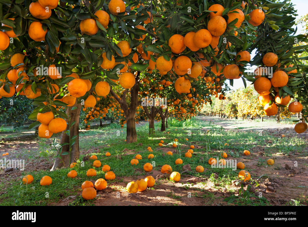 Falling Leaves Live Wallpaper Download Orange Laden Fruit Trees In An Orchard Stock Photo