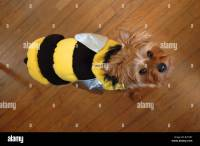 Cute Yorkshire Terrier dog in a bee costume Stock Photo ...