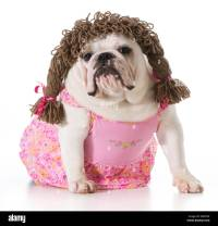 female dog - english bulldog wearing pink dress and ...