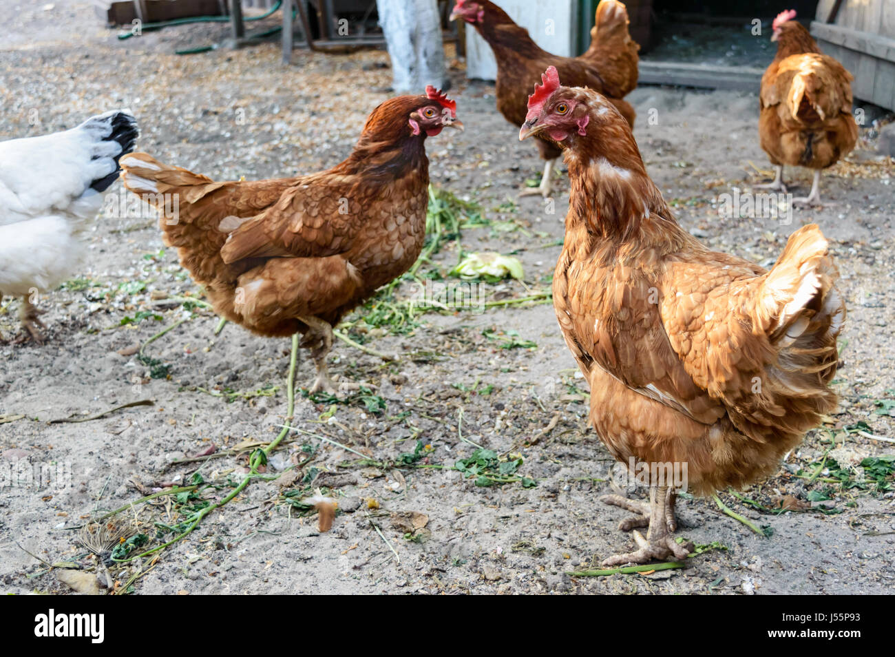 Red Rooster Coffee Garden Valley Lohmann Stock Photos And Lohmann Stock Images Alamy