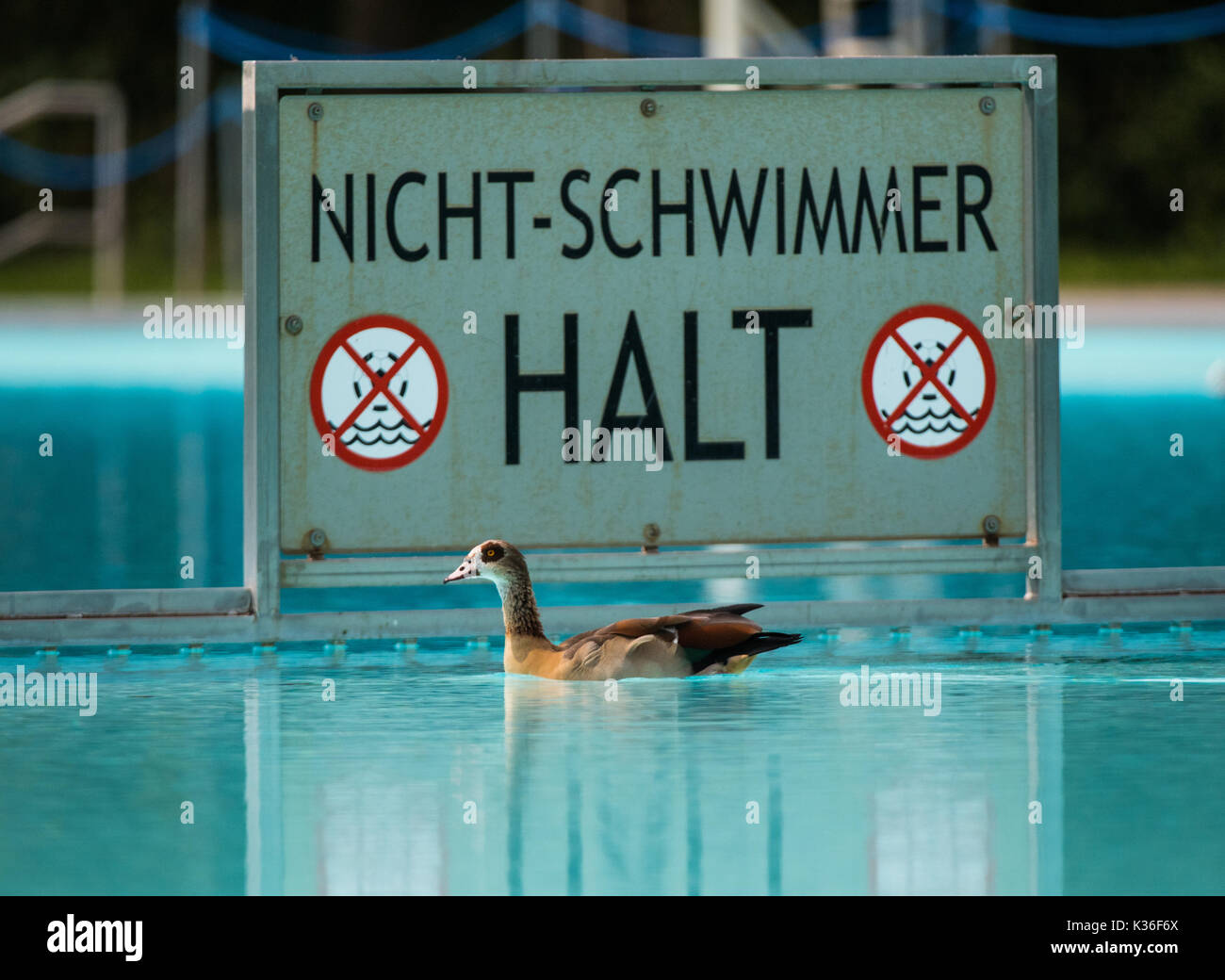 Swimming Pool Frankfurt Dpatop An Egyptian Goose Is Swimming In The Brentano Swimming