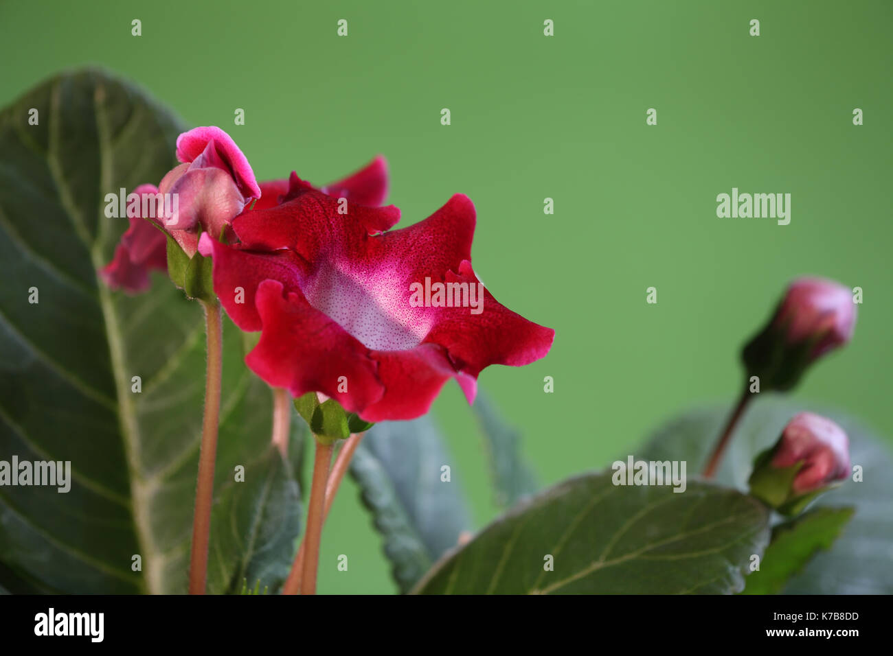 Beautiful Indoor Flowers Gloxinia Flower Stock Photos And Gloxinia Flower Stock