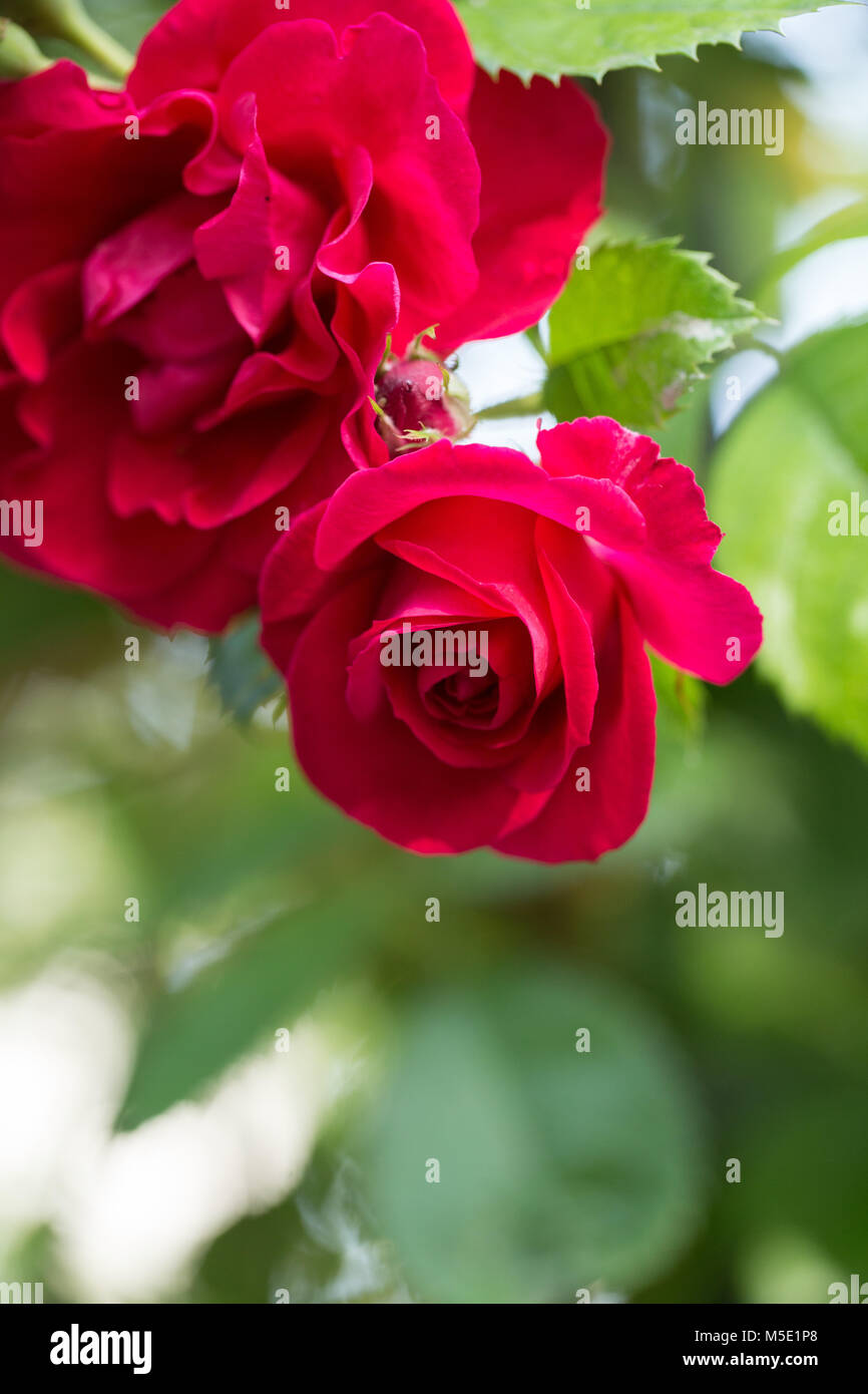 Beautiful Pictures Of Flowers Romance Petal Romantic Valentine Plant Love Beautiful