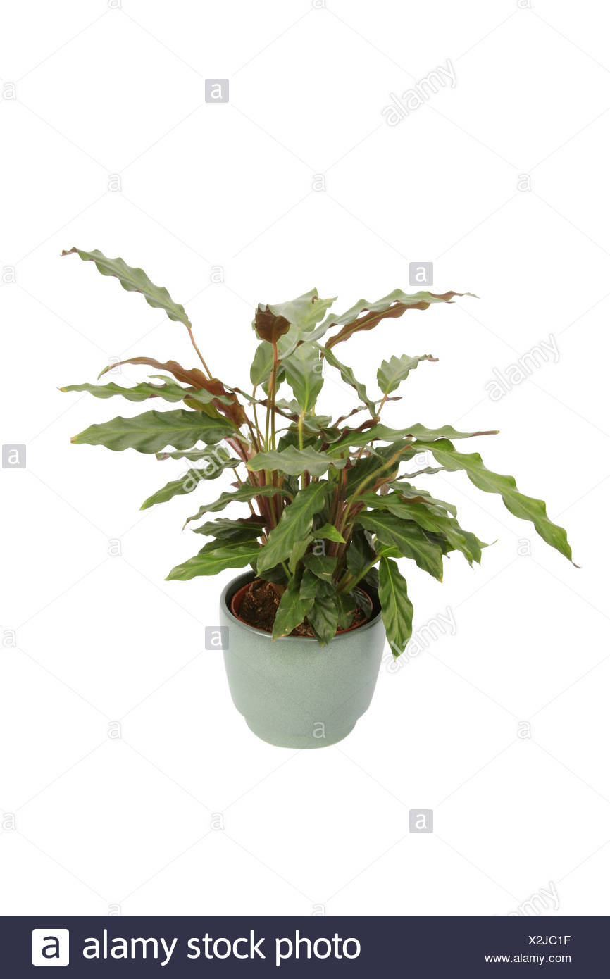 Calathea Rufibarba Calathea Rufibarba Calathea Furry Feather Stock Photo 276999787