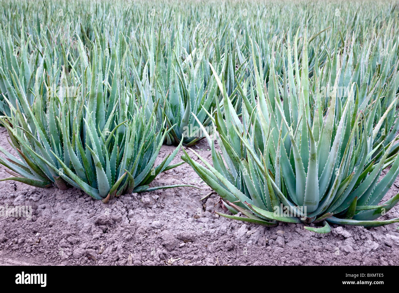 Aloe Vera Pflanze Pflegen Aloe Stockfotos And Aloe Bilder Alamy