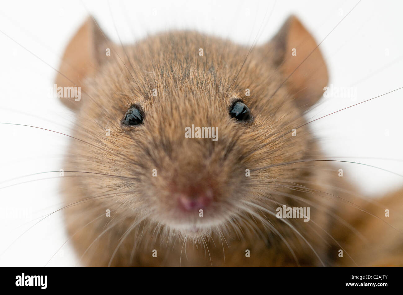Maus In Der Küche Fangen Mouse Stockfotos And Mouse Bilder Alamy